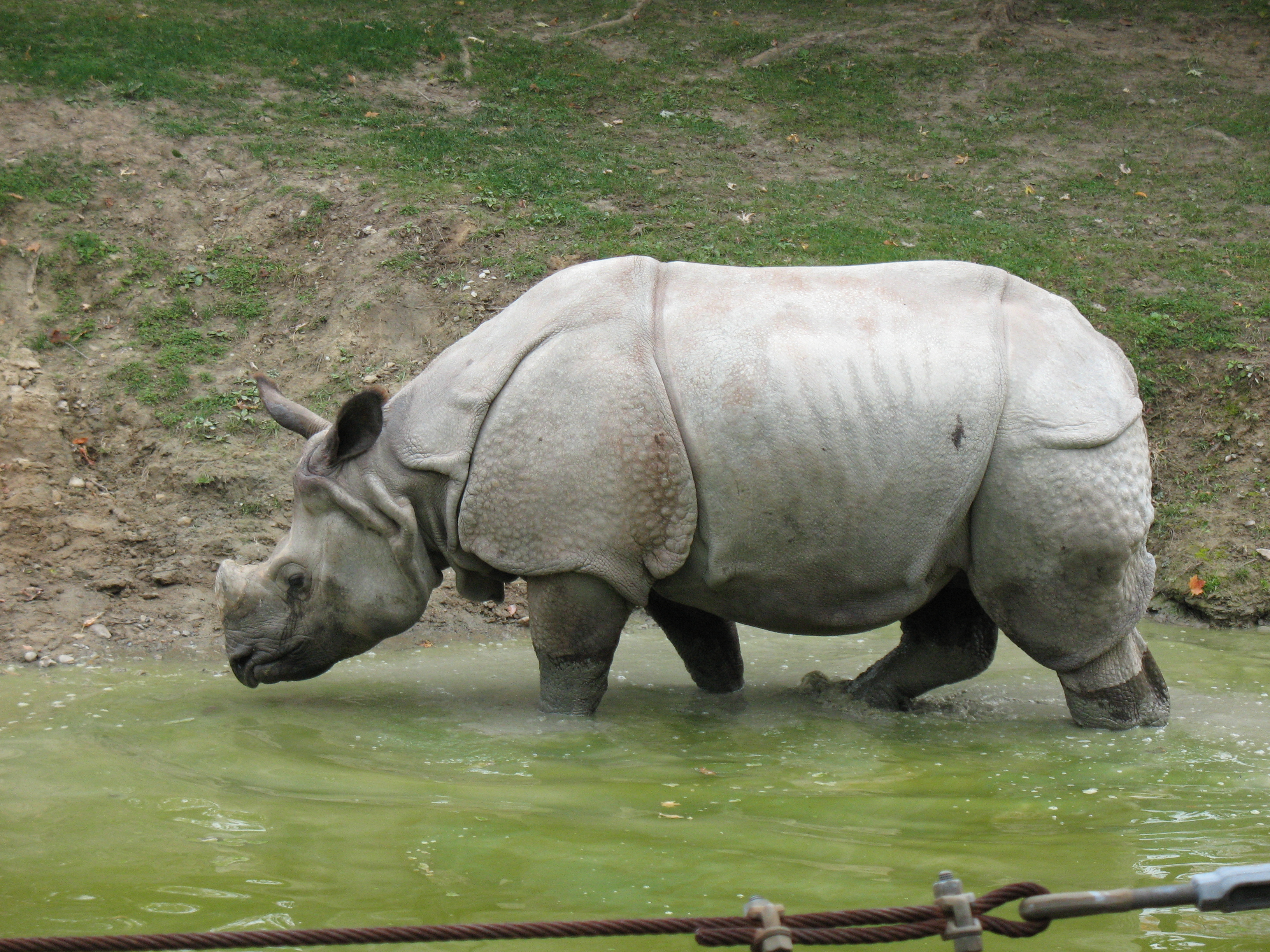 javan rhino The javan rhino's scientific name is rhinoceros sondaicus, which is why it is also known by the more formal name of sunda rhino it is closely related to the indian.