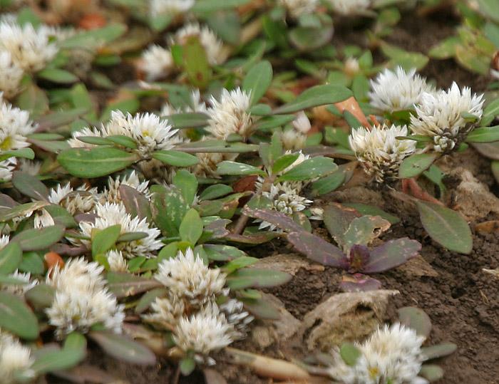 Khaki Weed Image