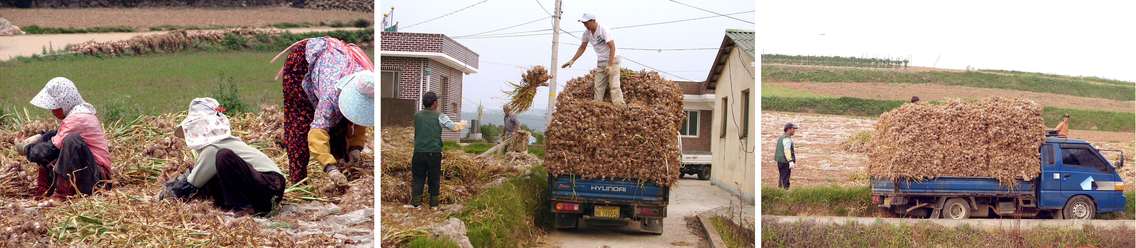 Korea-Goheunggun-Garlic harvest and transport.jpg