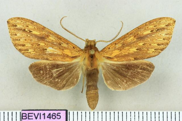 Leucanopsis nayapana