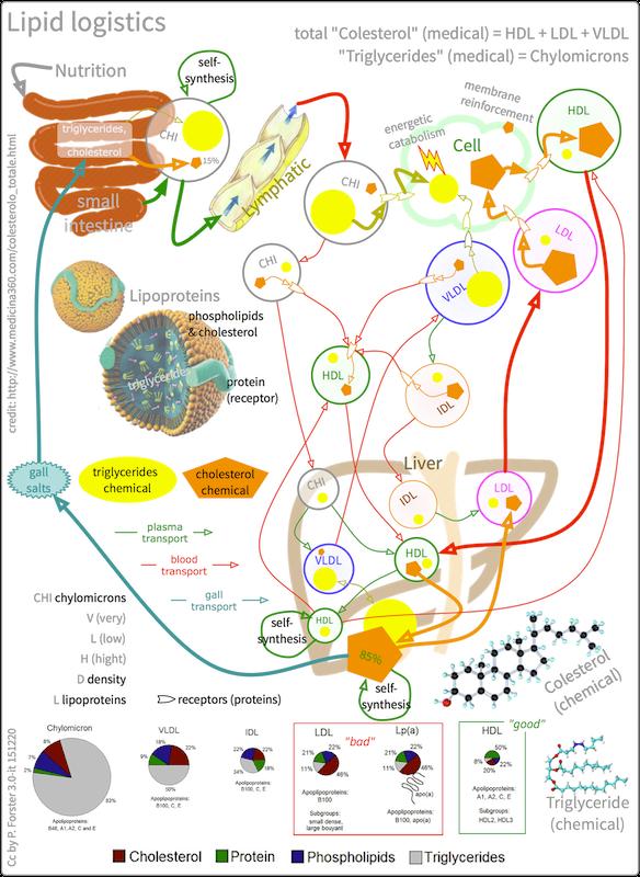 Die Rolle des Cholesterins im Stoffwechsel