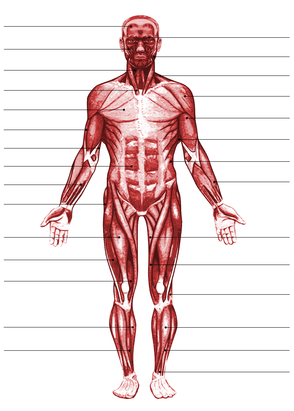 The Muscular System By Schuylar