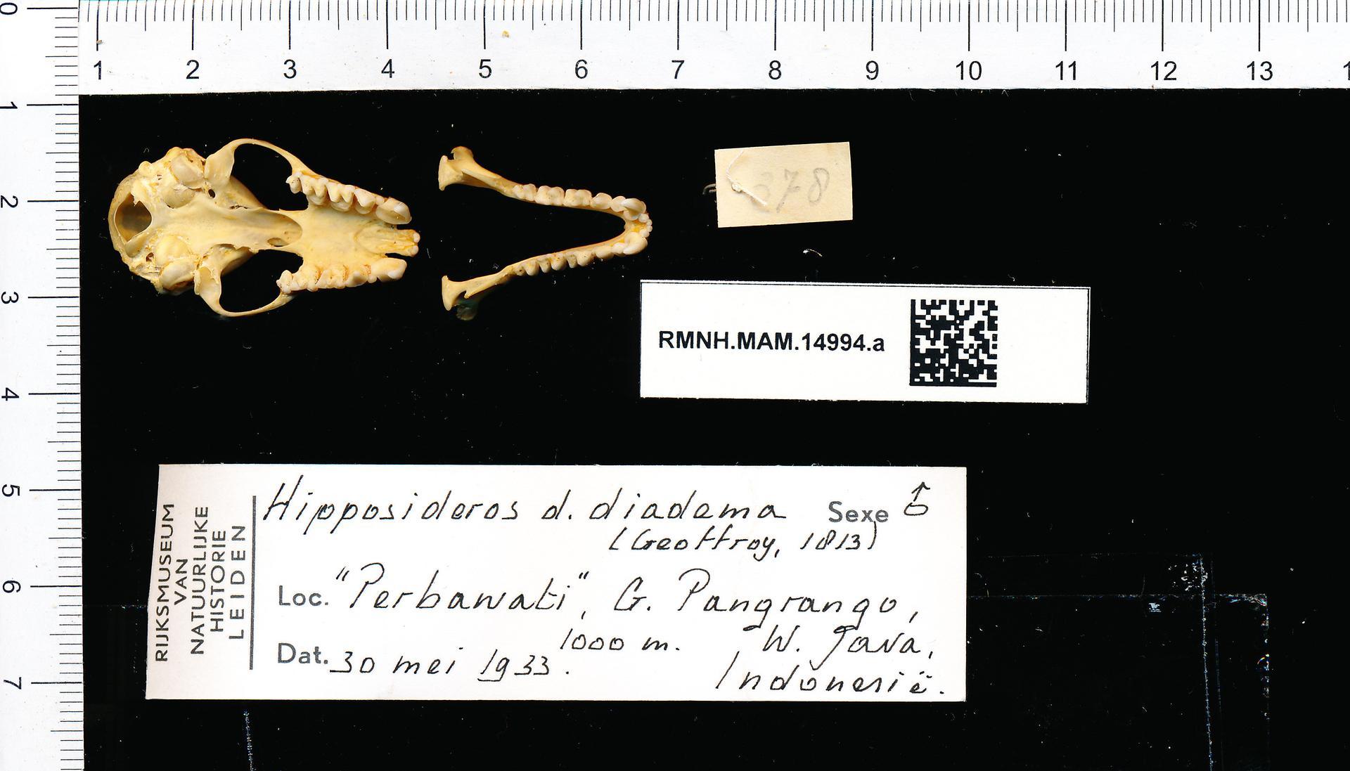 File:Naturalis Biodiversity Center - RMNH.MAM.14994.a pal - Hipposideros  Diadema Diadema - skull.jpeg - Wikimedia Commons