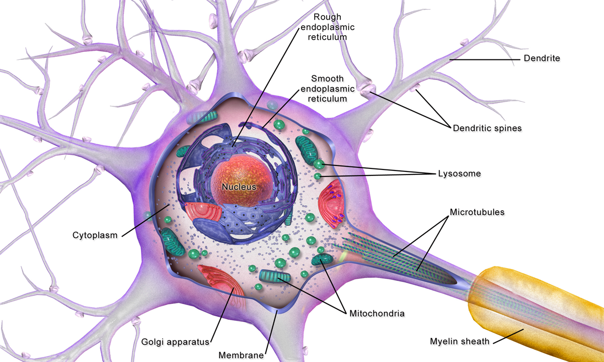 neuron cell body from - photo #4