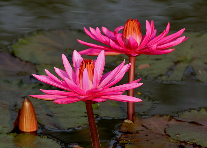 http://upload.wikimedia.org/wikipedia/commons/e/ed/Nymphaea_pubescens_%28Indian_red_water_lily%29%2C_Hyderabad%2C_India_-_20090613-02.jpg