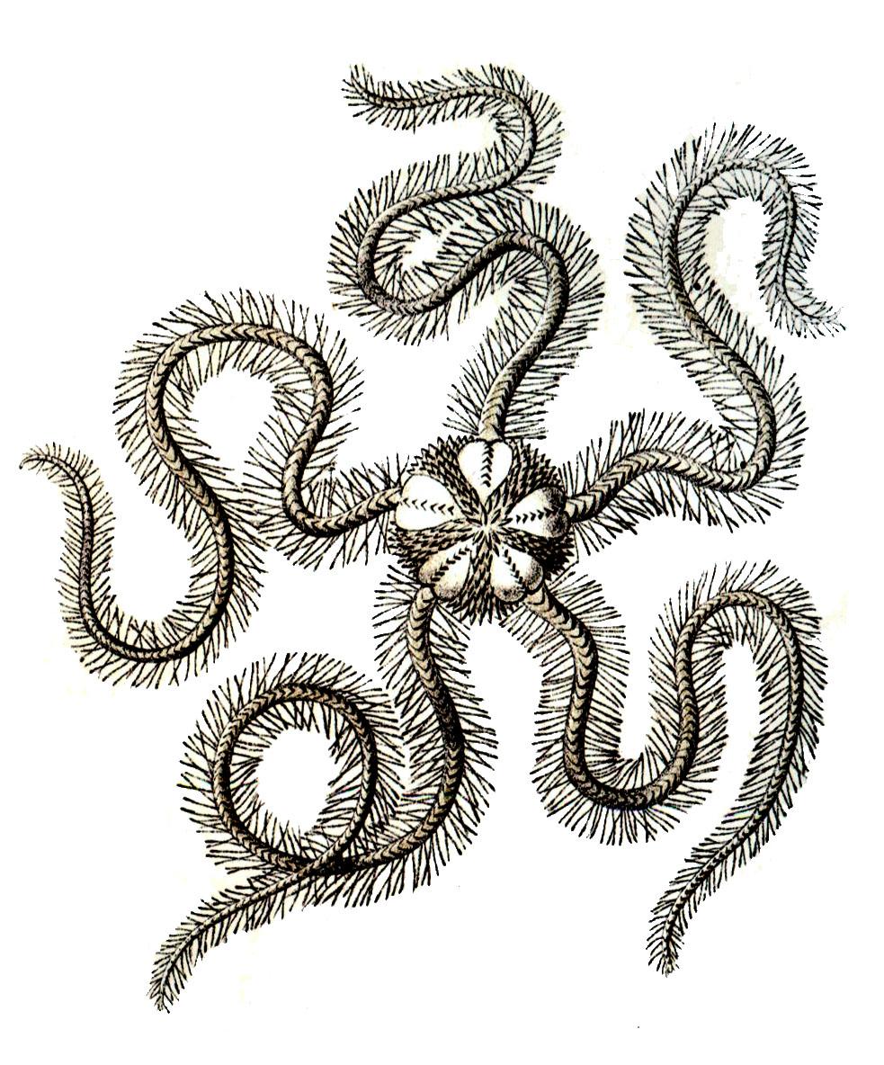 Ossicle (echinoderm) - Wikipedia