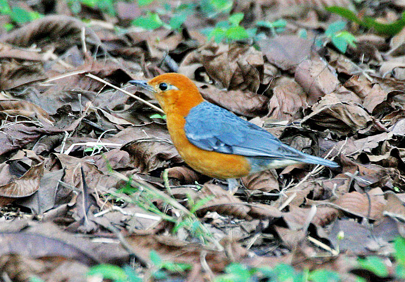 Файл:Orange-headed Thrush (Zoothera citrina) in Kolkata I IMG 3224.jpg