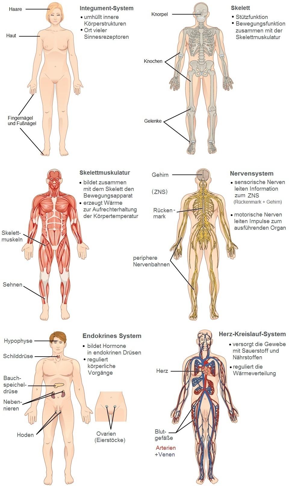 Organsystem - Wikiwand