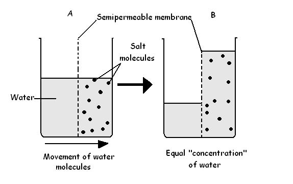 Sample-cells  The Plasma Membrane