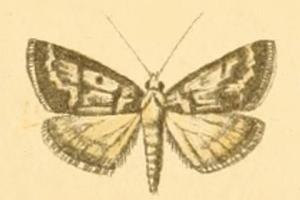 <i>Palepicorsia</i> genus of insects