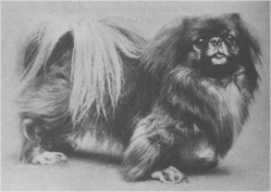 http://upload.wikimedia.org/wikipedia/commons/e/ed/Pekingese1904.jpg