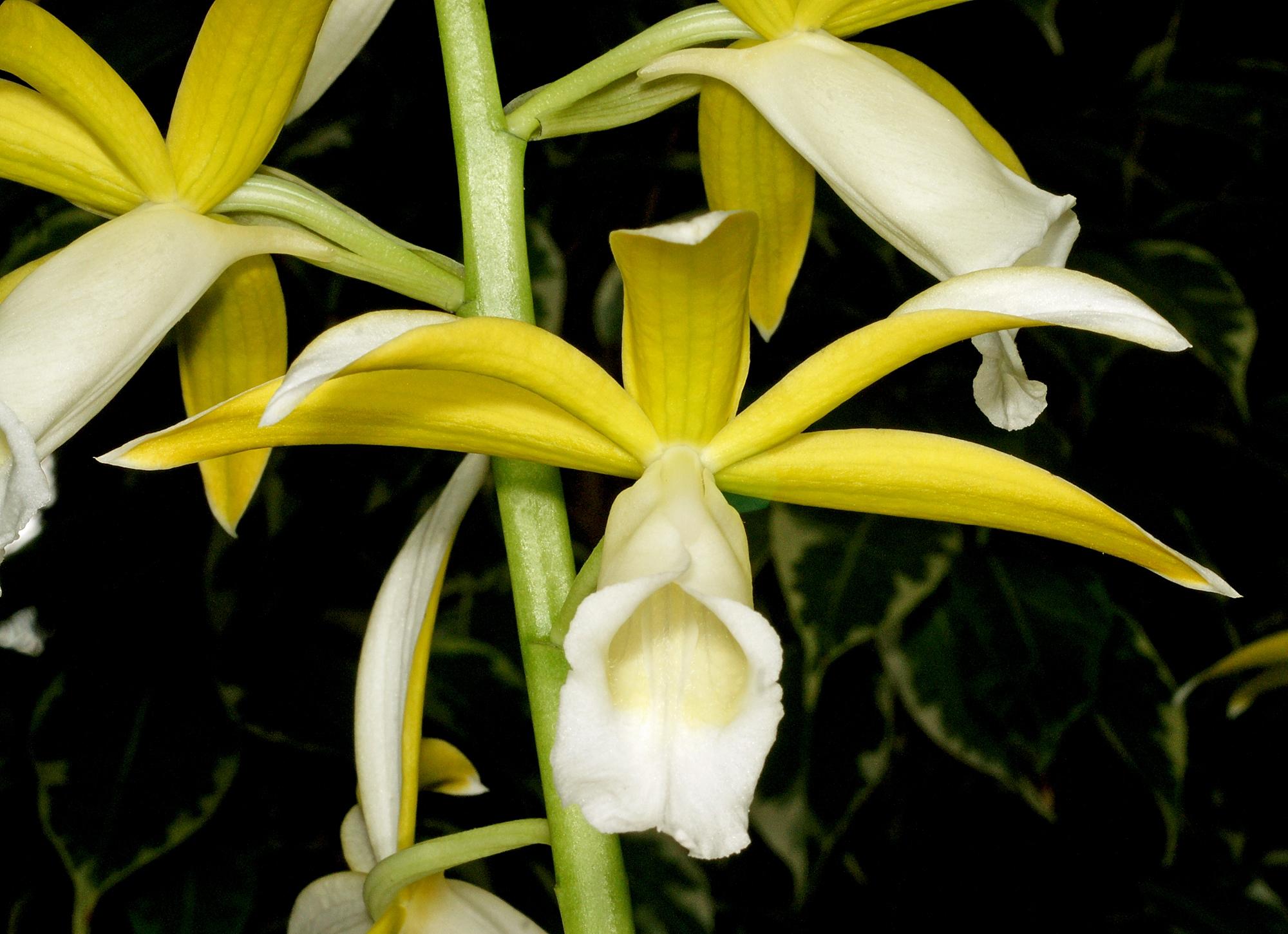 Phaius tancarvilleae alba