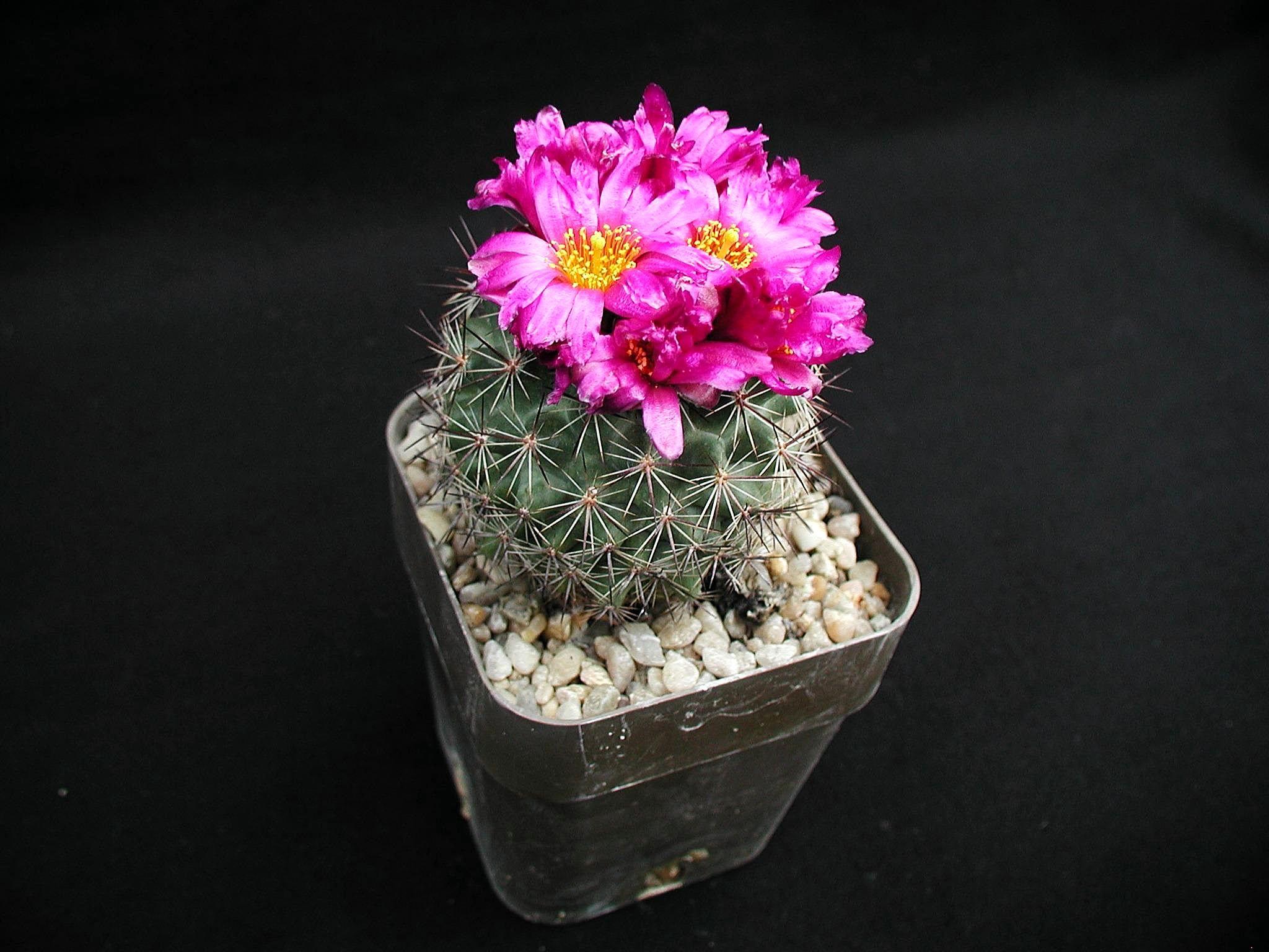 Filepink flower of cactus plantg wikimedia commons filepink flower of cactus plantg mightylinksfo