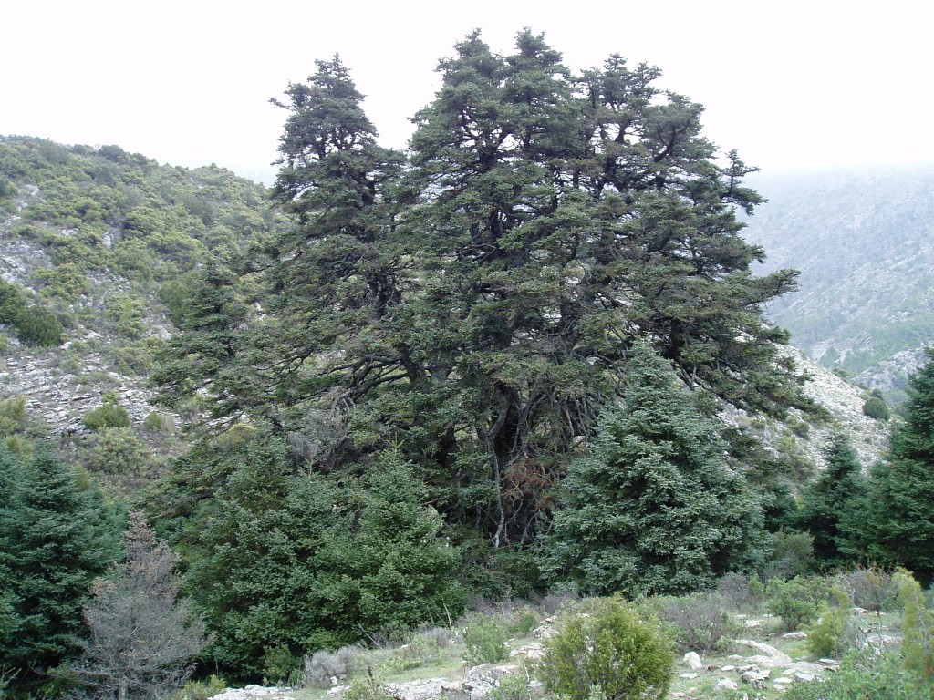 Abies Pinsapo Wikispecies