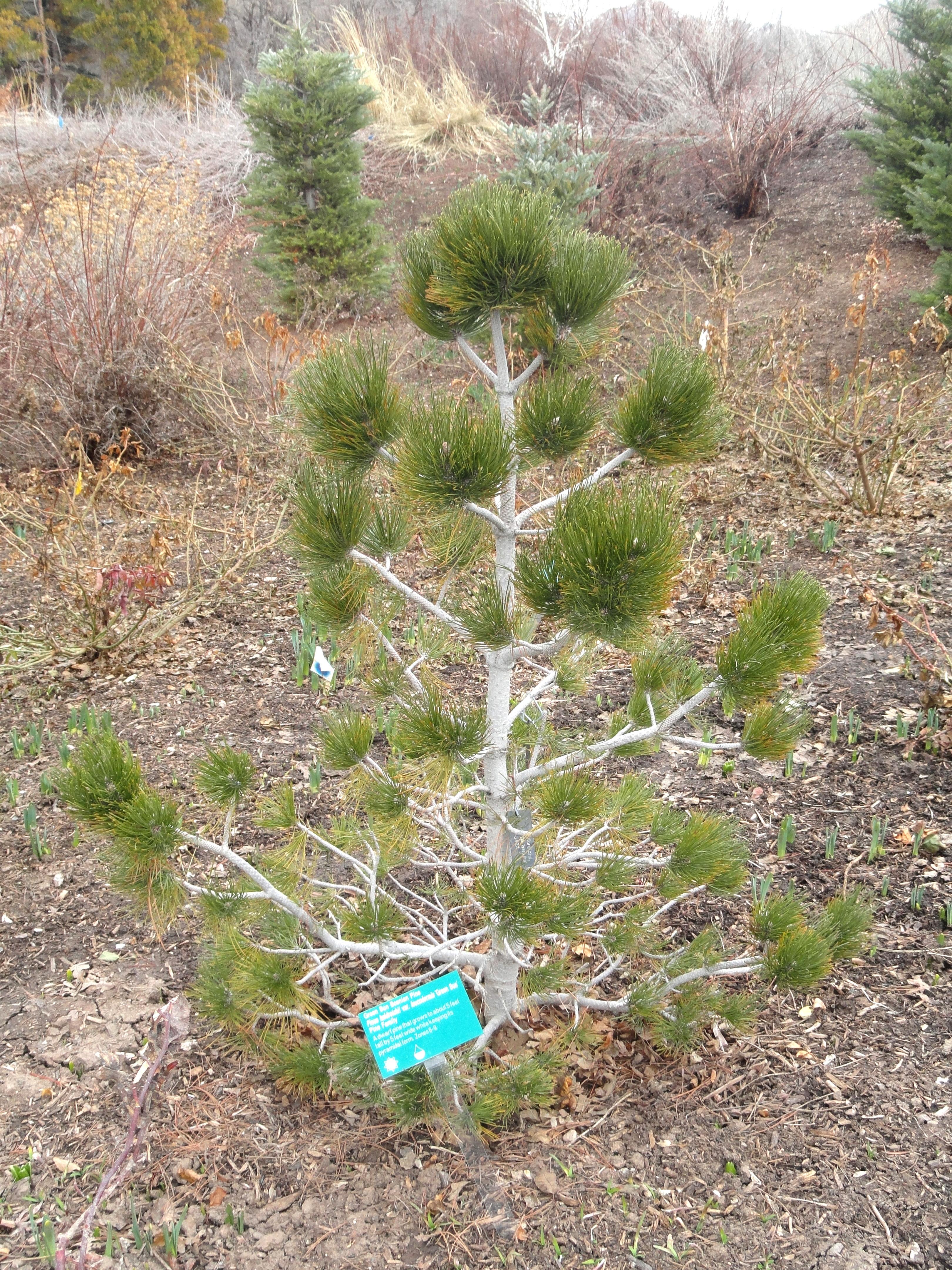 File Pinus Heldreichii Red Butte Garden And Arboretum Dsc07502