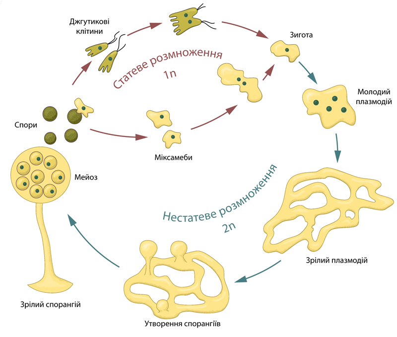 File:Plasmodial slime mold life cycle.png