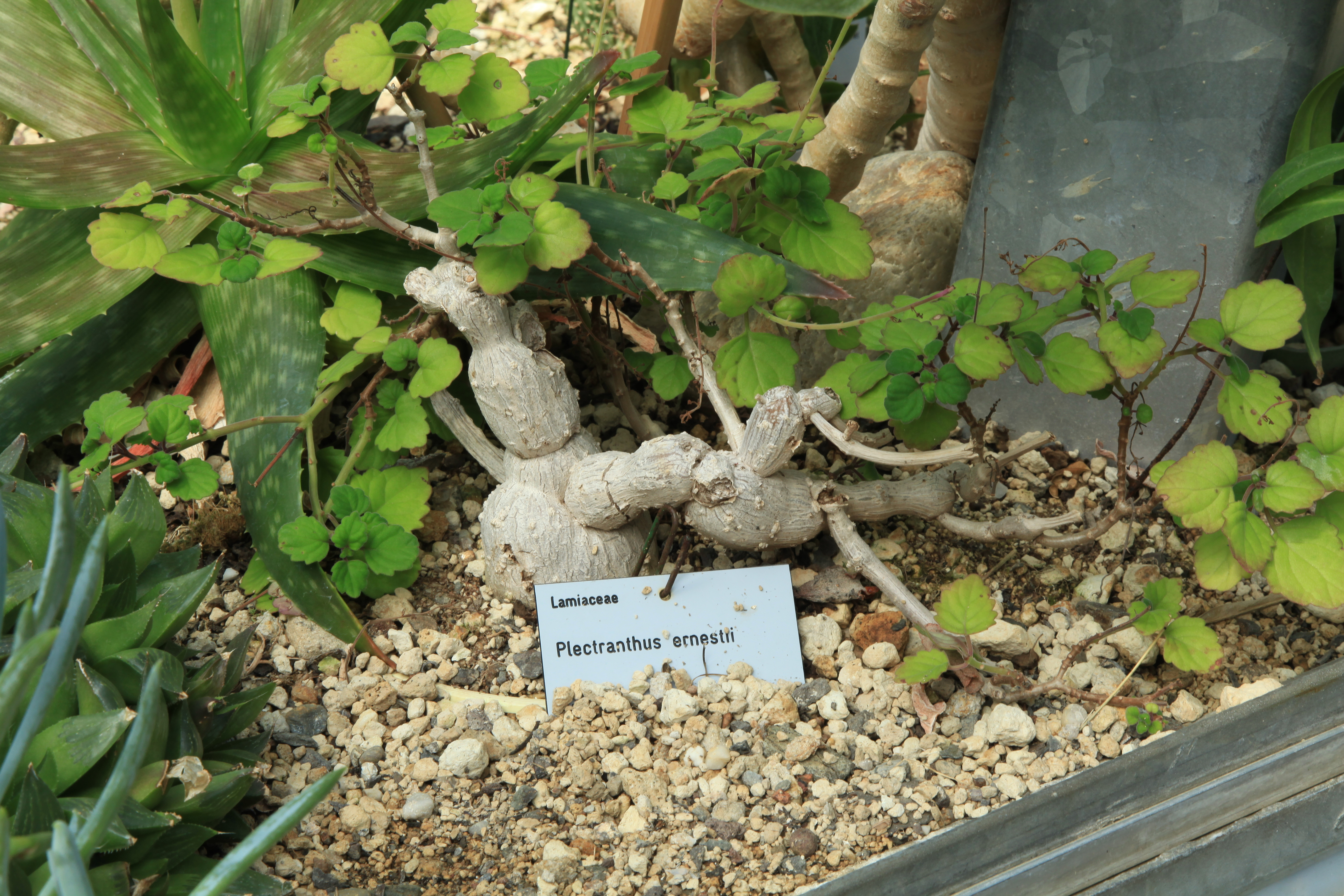 Plectranthus ernstii aka Plectranthus ernestii  Cacticom