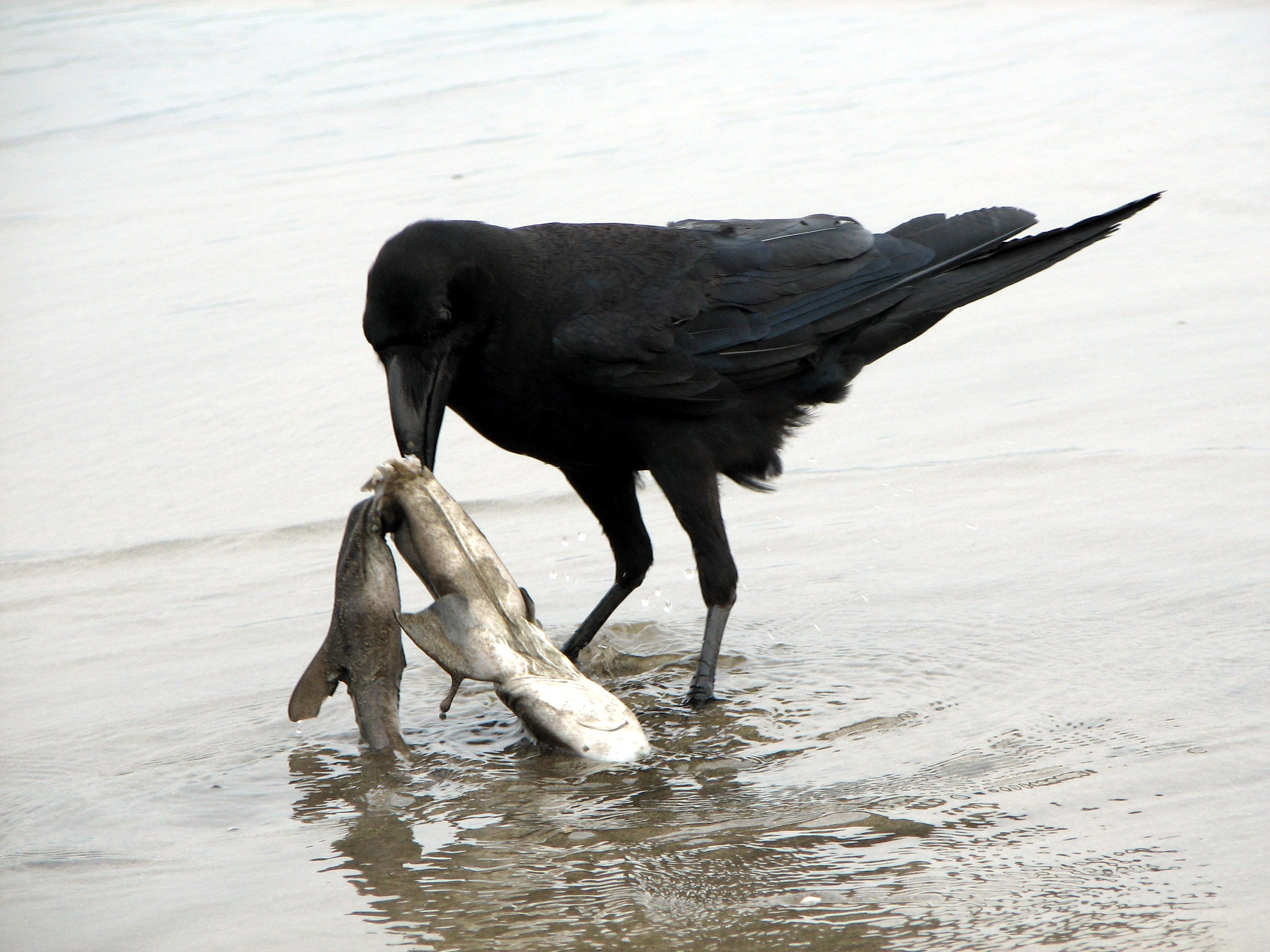 Raven Scavenging Dead Shark Wikimedia Commons