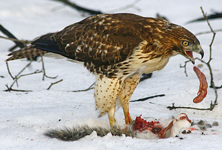 Hawk Eats Cat