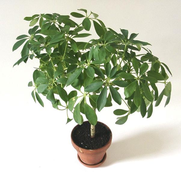 Identificare plante necunoscute - Pagina 6 Schefflera_arboricola
