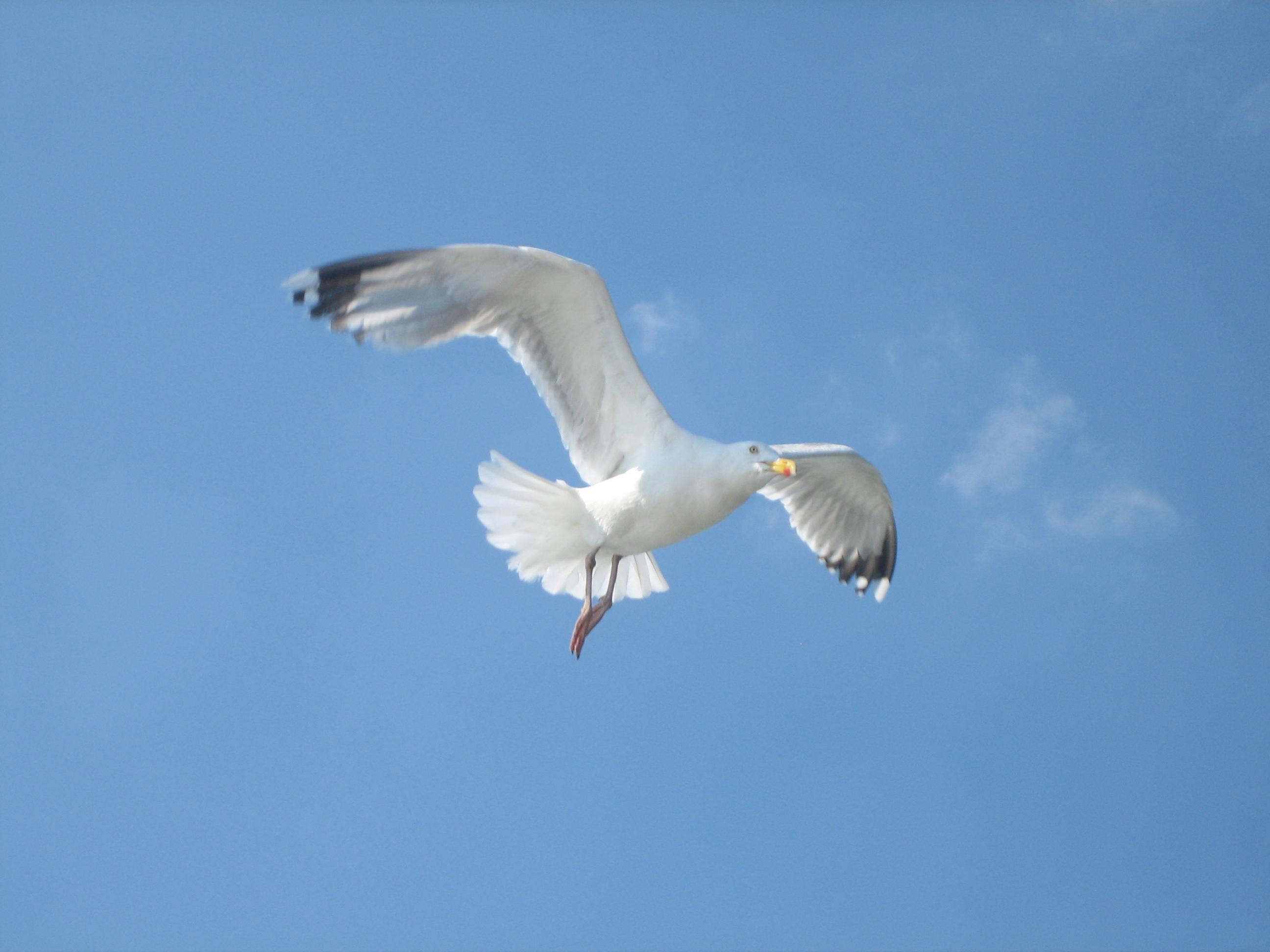 file seagull jpg wikimedia commons