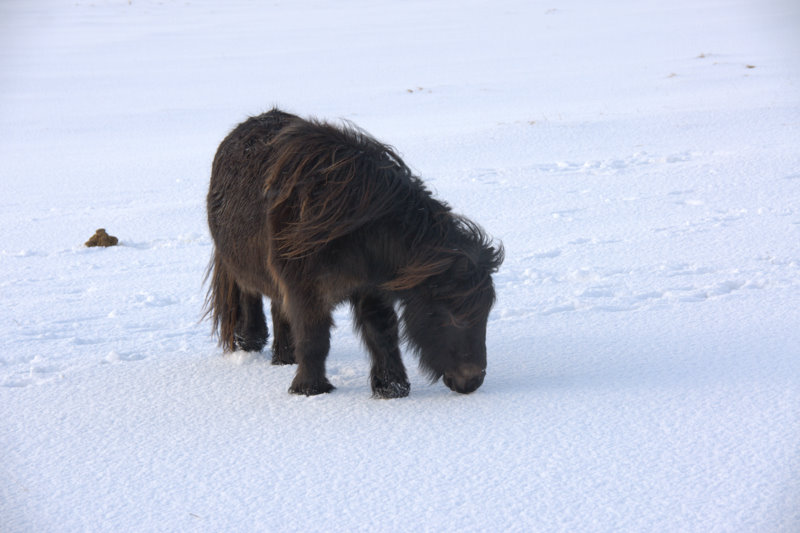 File:Shetland pony in the snow, Baltasound - geograph.org.uk - 1691743.jpg
