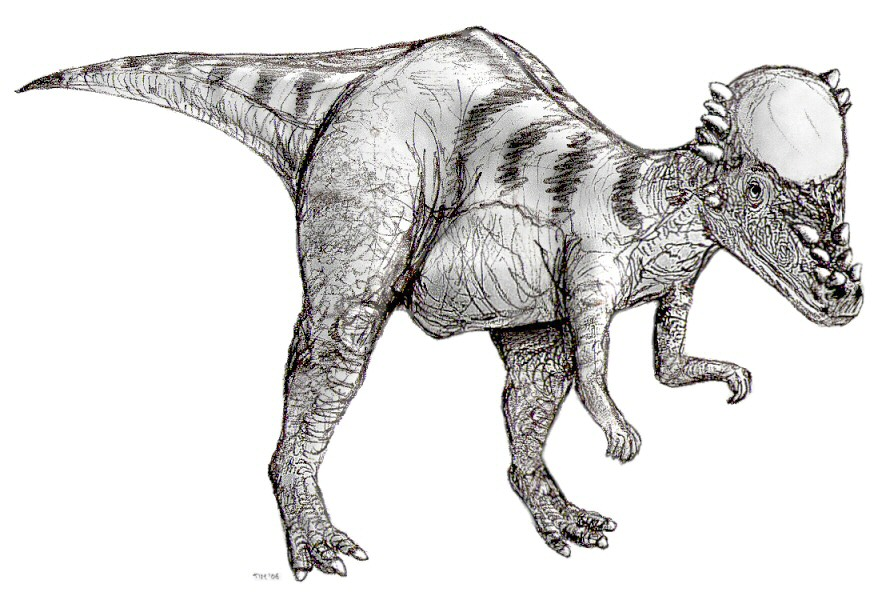 https://upload.wikimedia.org/wikipedia/commons/e/ed/Sketch_pachycephalosaurus2.jpg