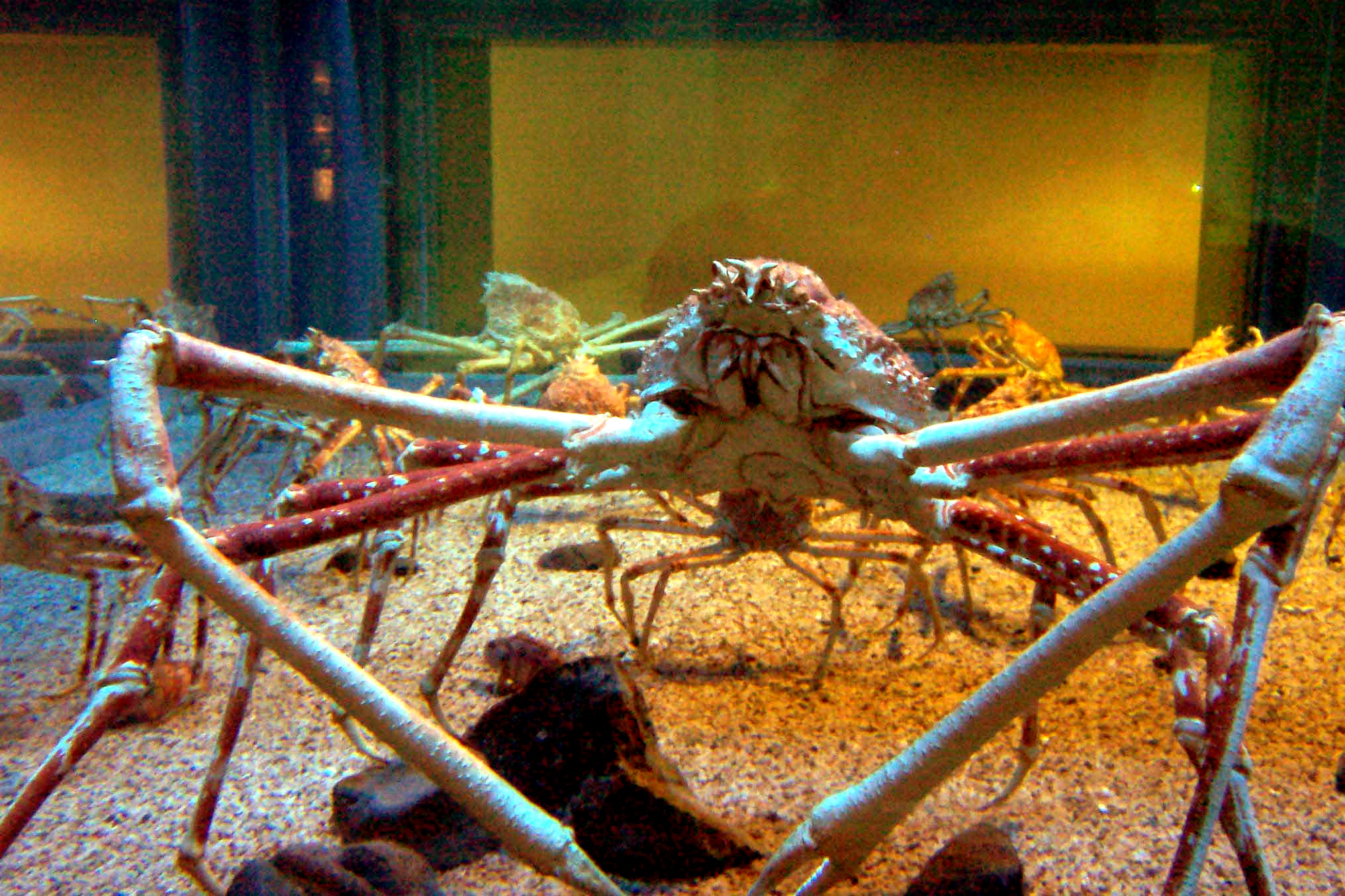 Spider crab - photo#8