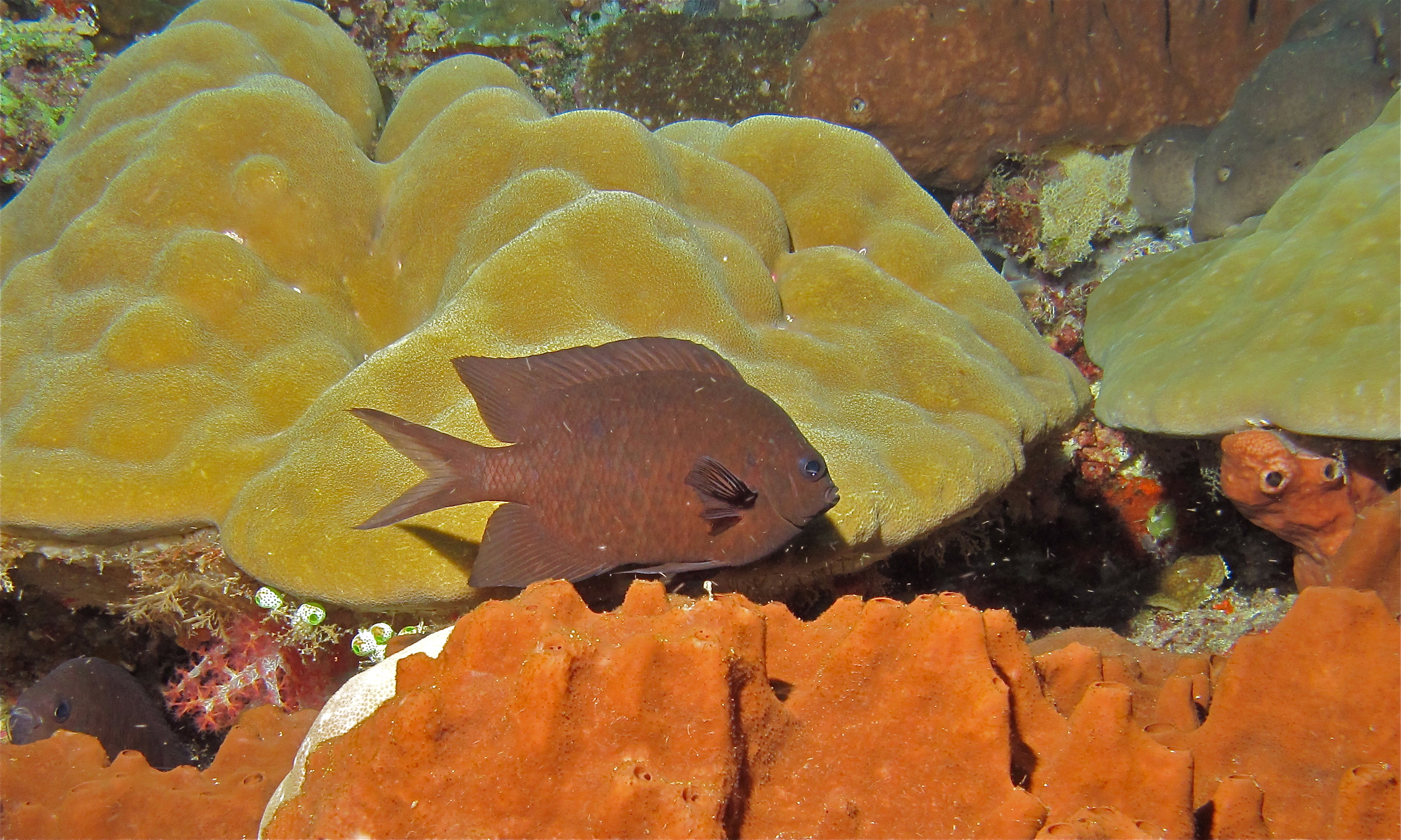 Dieses Bild hat ein leeres Alt-Attribut. Der Dateiname ist Spiny_Chromis_%28Acanthochromis_polyacanthus%29_%288482259174%29.jpg