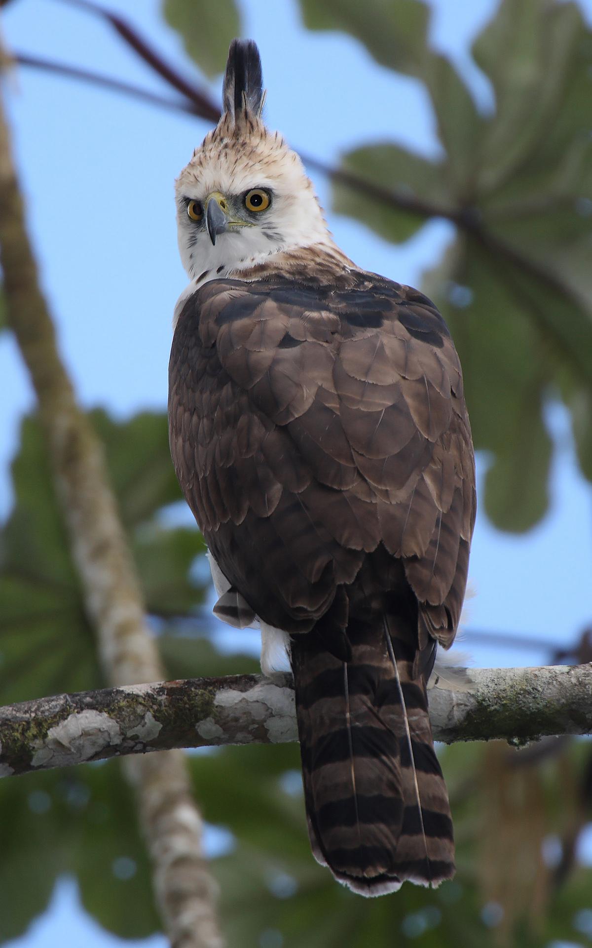 Especies de águilas