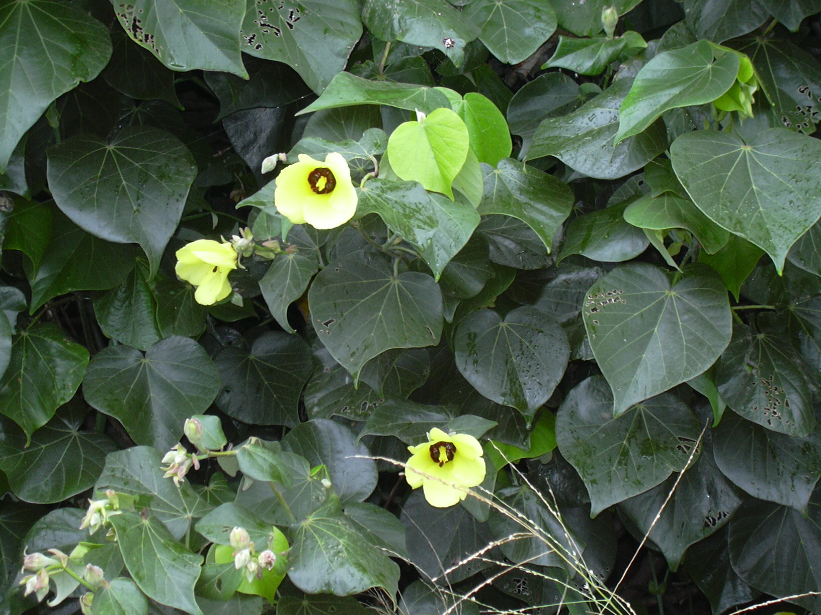File starr 040518 0316 hibiscus wikimedia for Hibiscus arbol