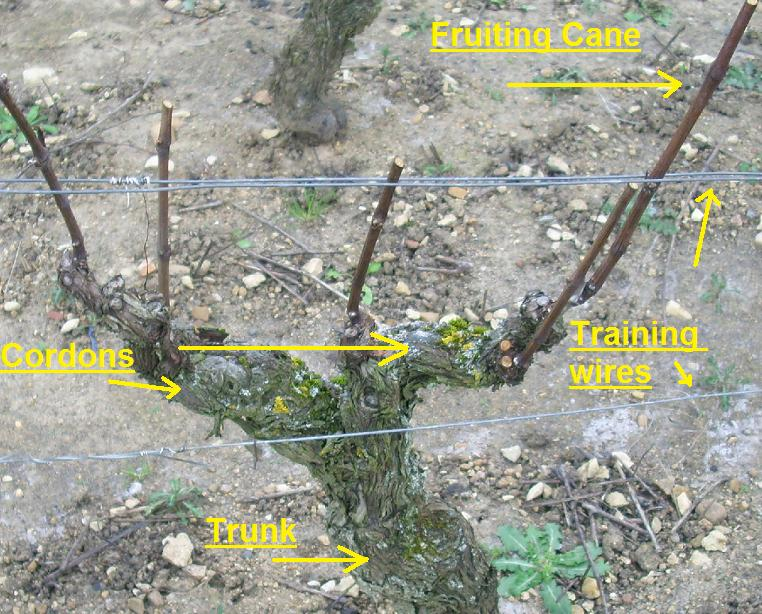 File:Structure of a grape vine.jpg - Wikipedia, the free encyclopedia