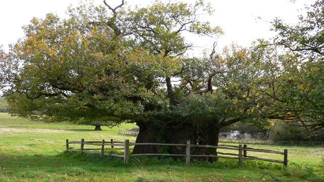 The Elizabeth Oak in Cowdray Park - geograph.org.uk - 1022046