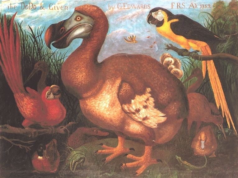 File The Dodo Amp Given By G Edwards 1759 Jpg Wikimedia