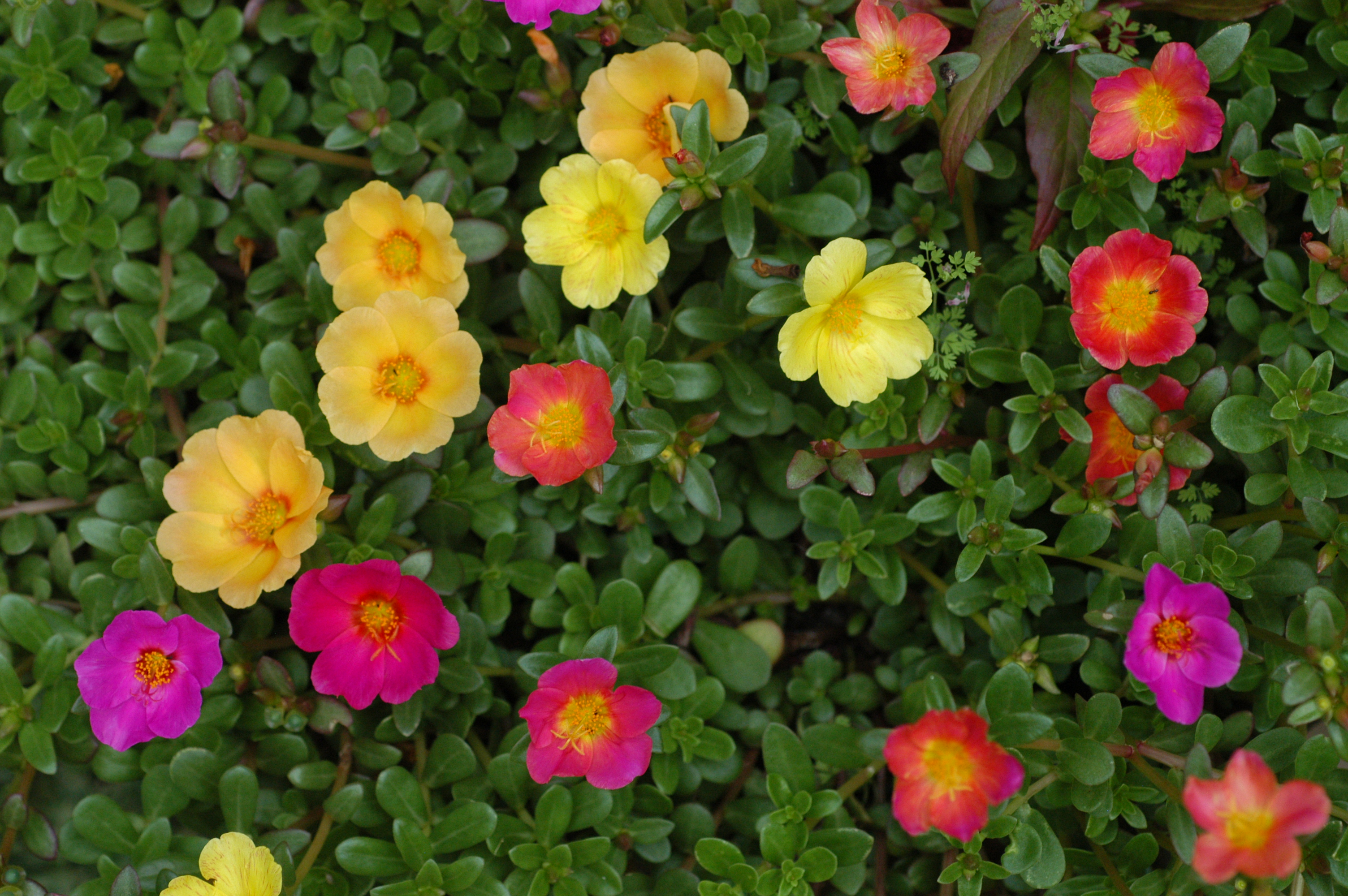 file unidentified portulaca flowering in a garden
