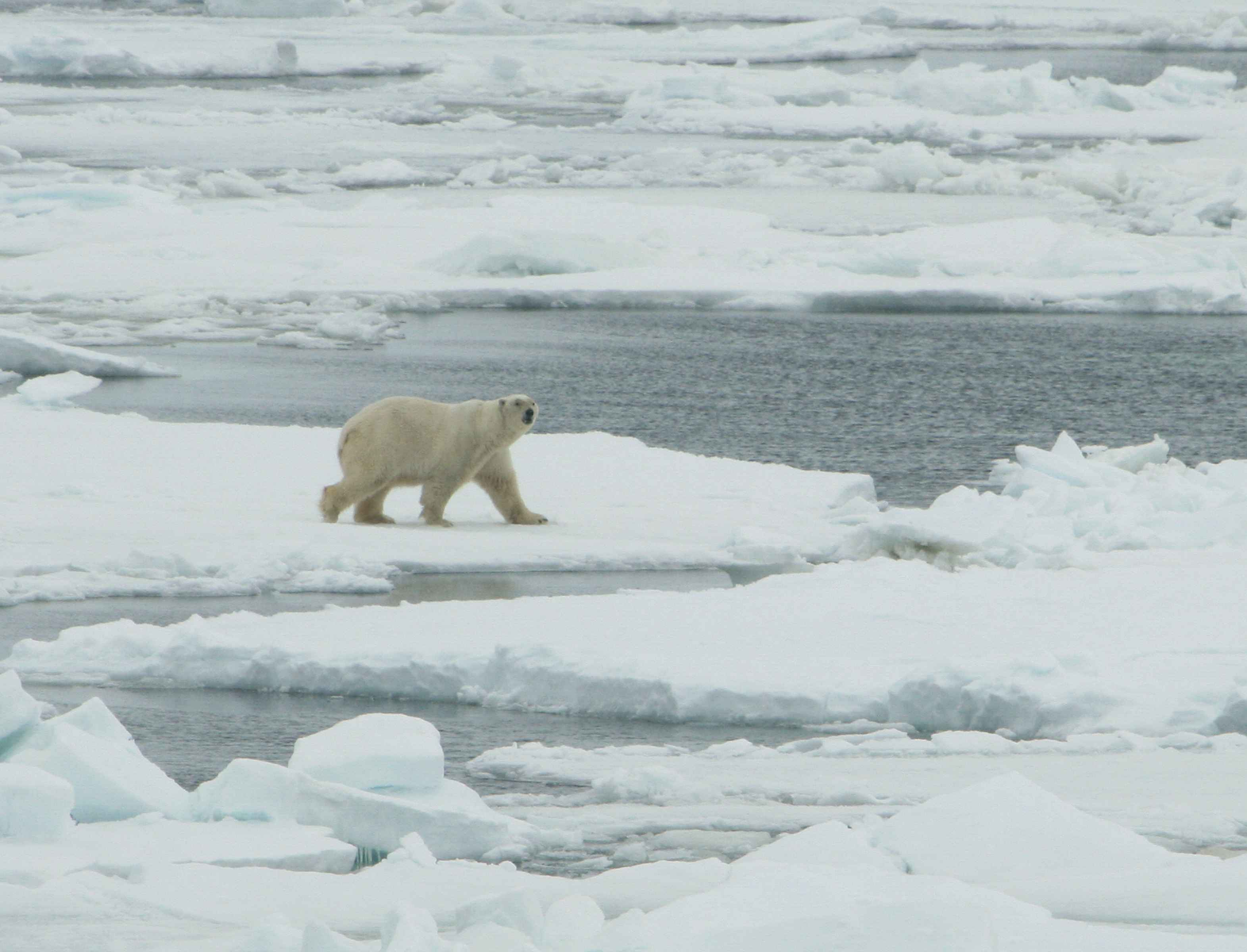 Polar Bear With Blue Star Dog Toy