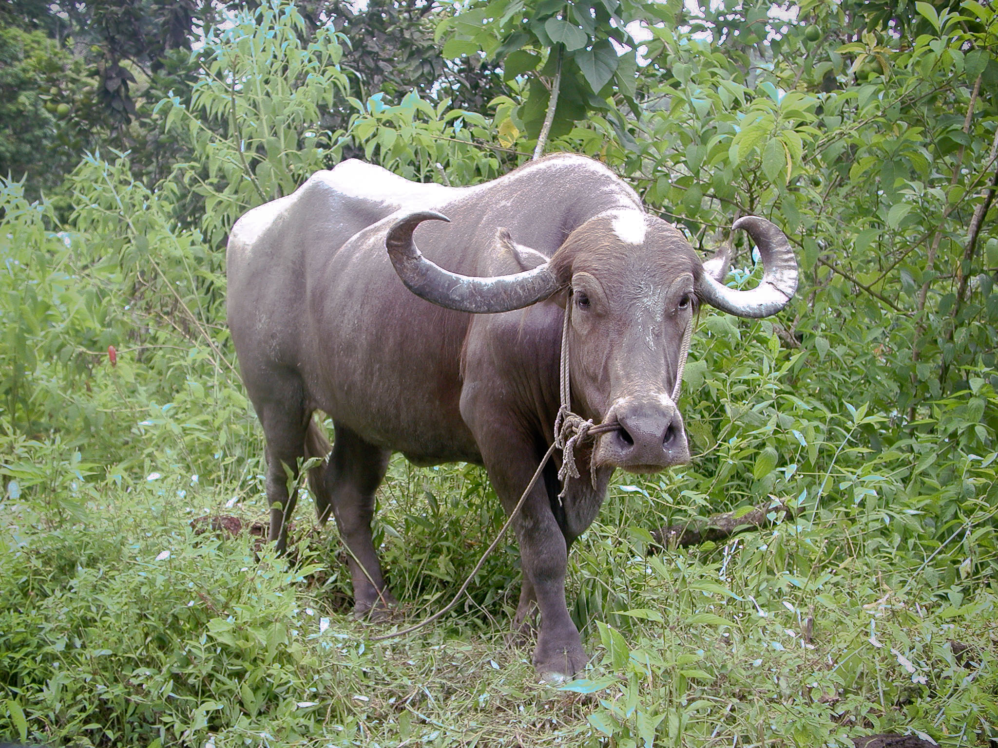 Water Buffalo Wikipedia