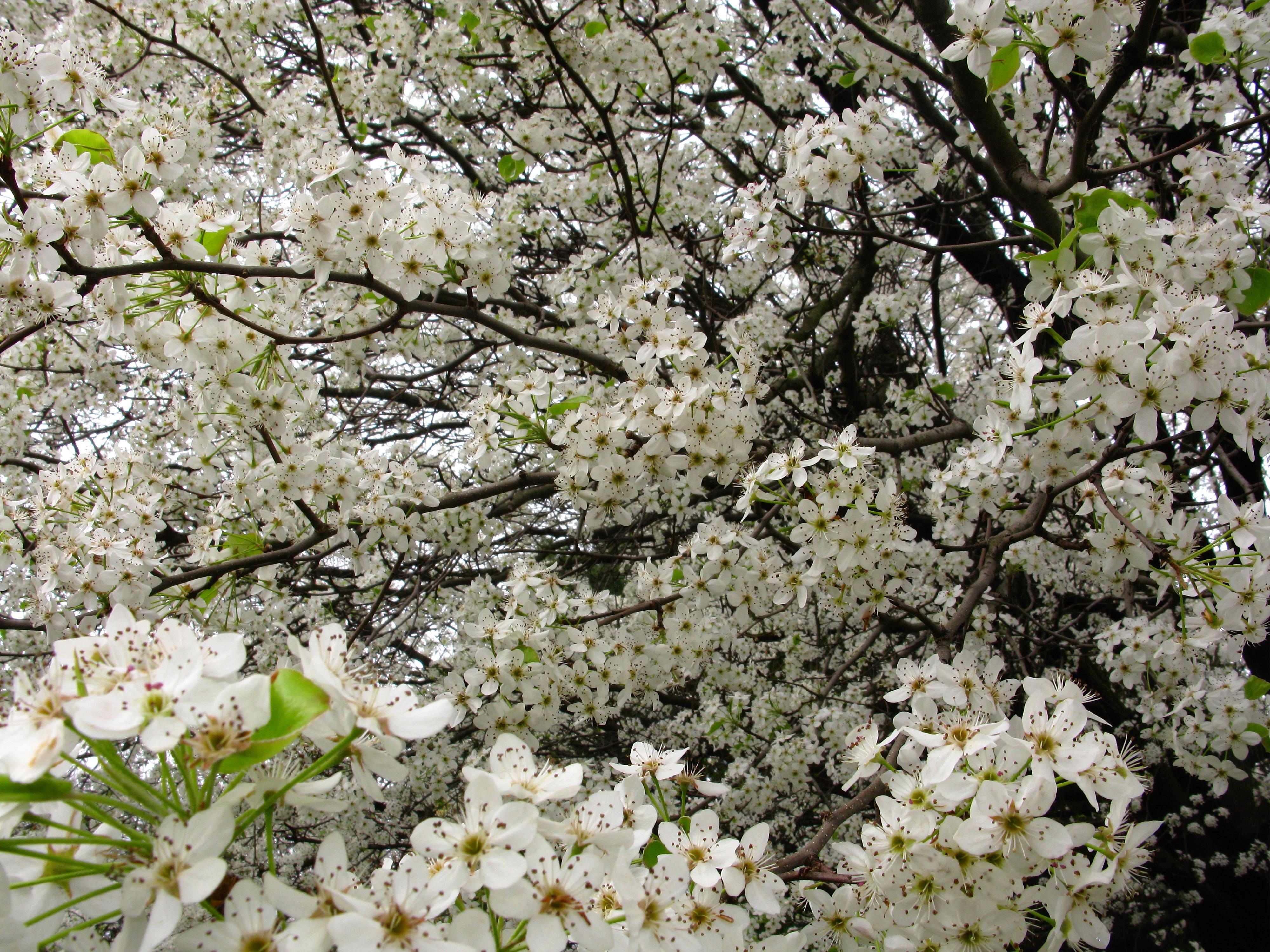 Filewhite Pear Flowers Bloom West Virginia Forestwanderg