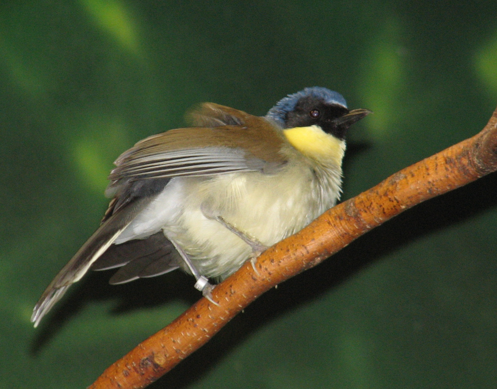 wallpapers of yellow laughing thrush bird photos