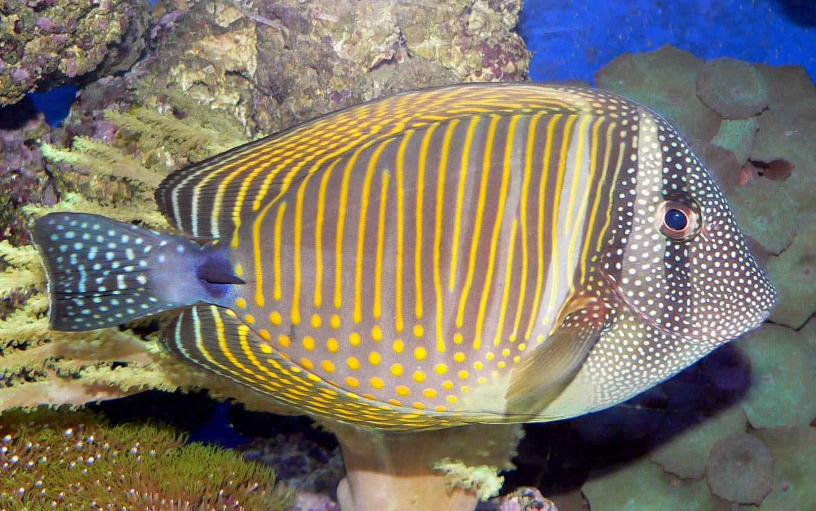 Zebrasoma desjardinii 1.jpg