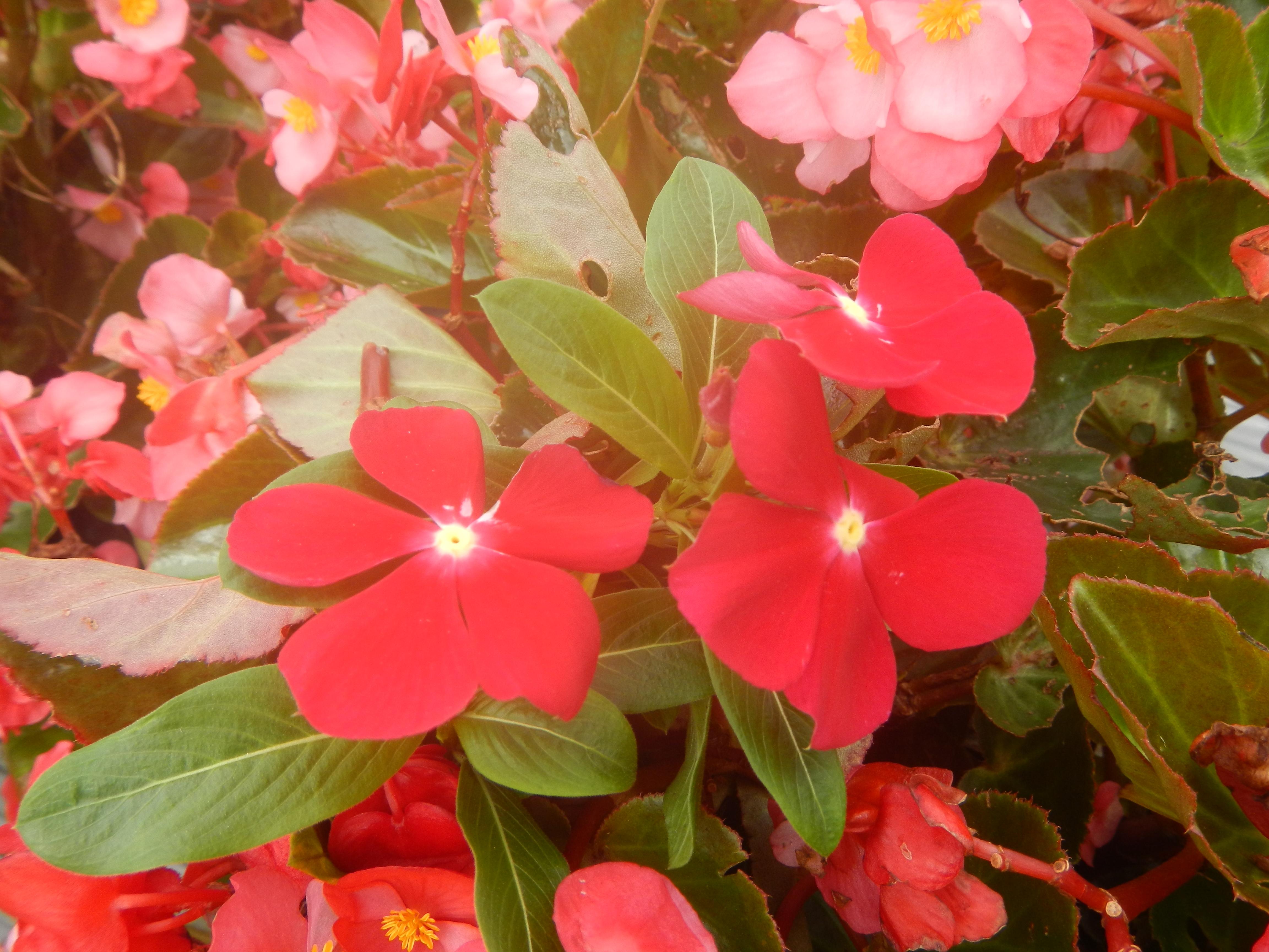 File02058jfclose Ups Of Vinca Flowers Pacifica Mixedfvf 08g