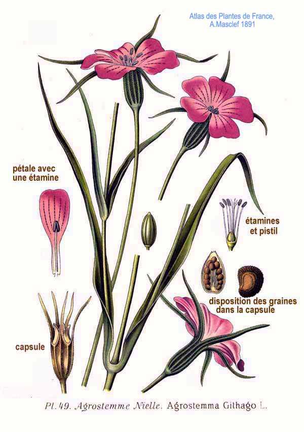 planche botanique de la nielle des blés