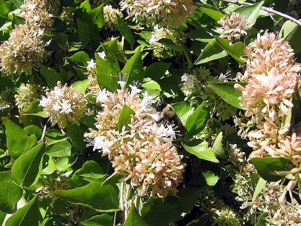 Fileabelia Chinensis 1zzjpg Wikimedia Commons