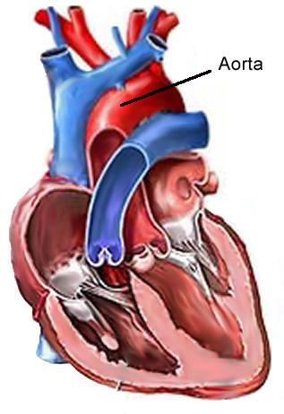 przekrój serca