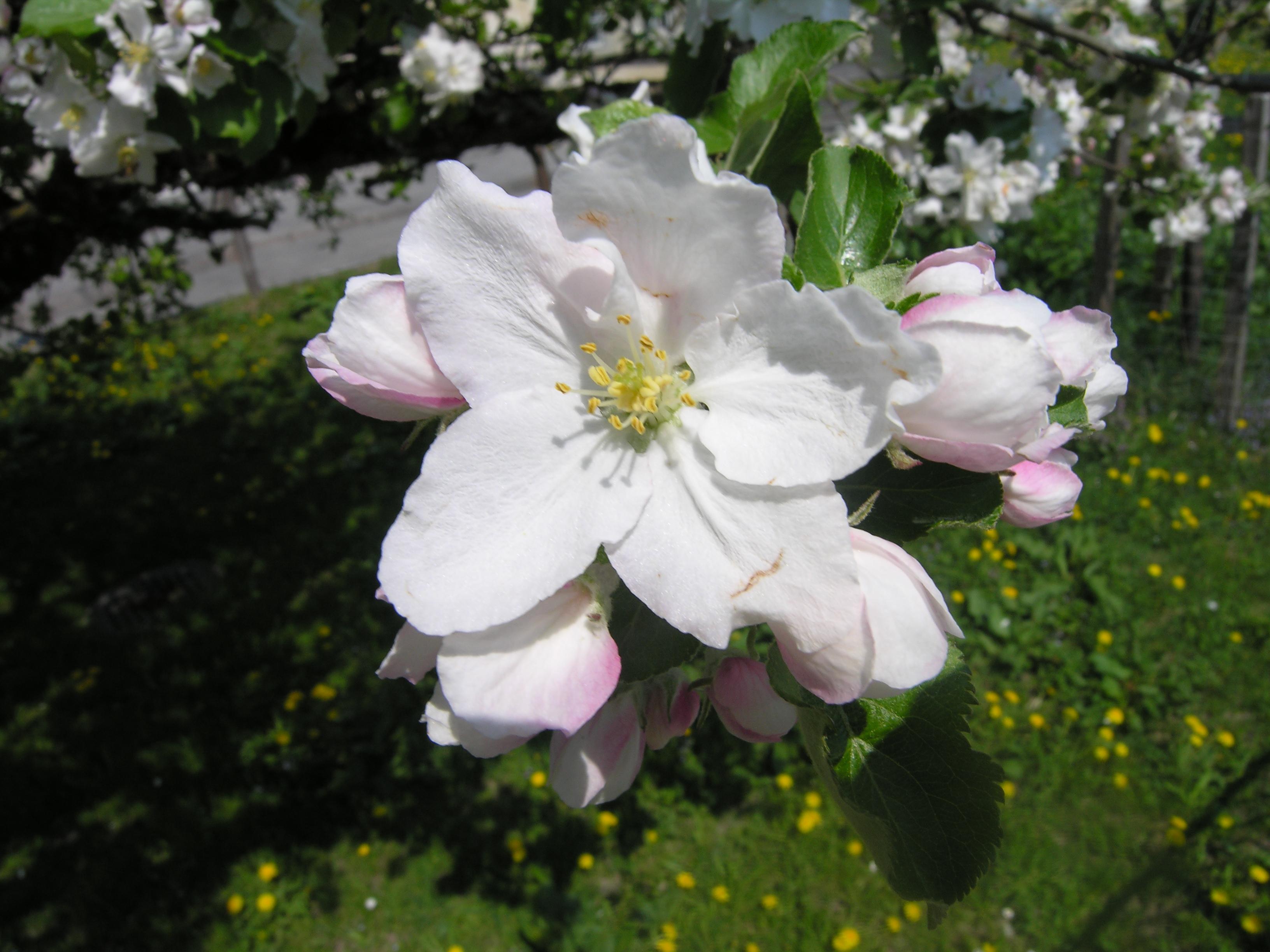 File Apple tree flower Wikimedia mons