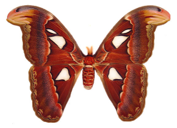 File:Atlas moth female.jpg