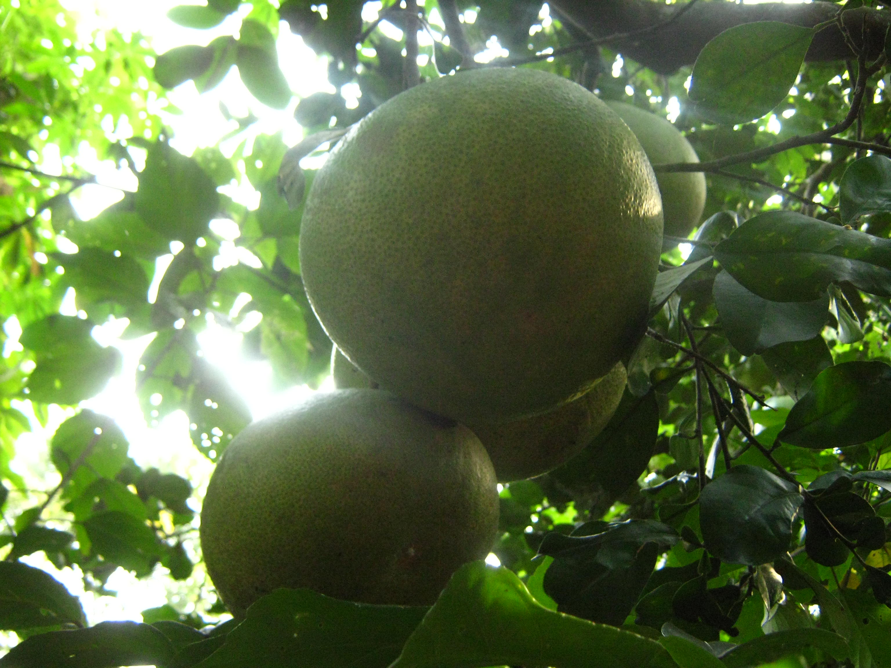 Pictures Of Pomelo Trees