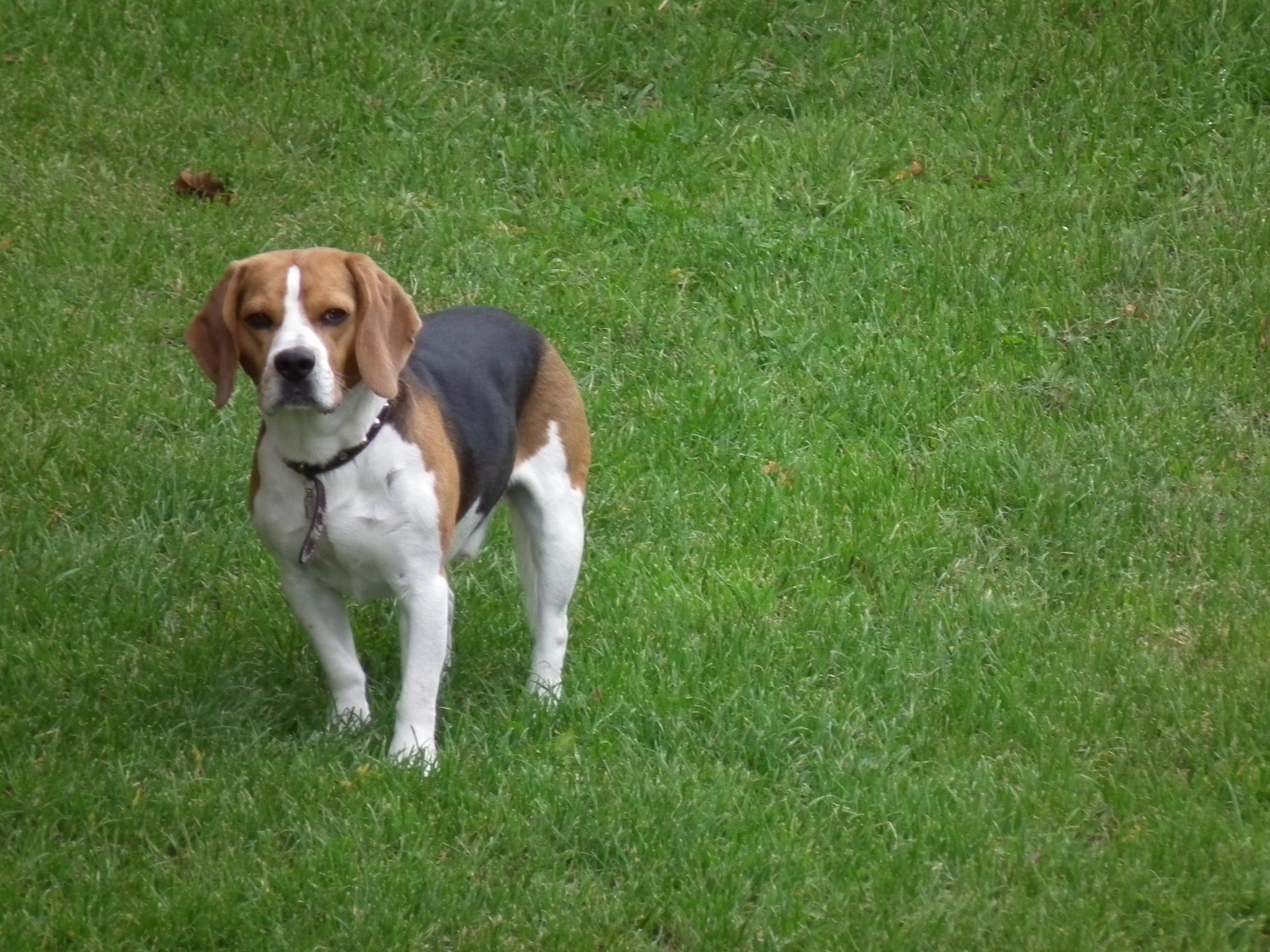 Beagle Rescue Dogs For Adoption