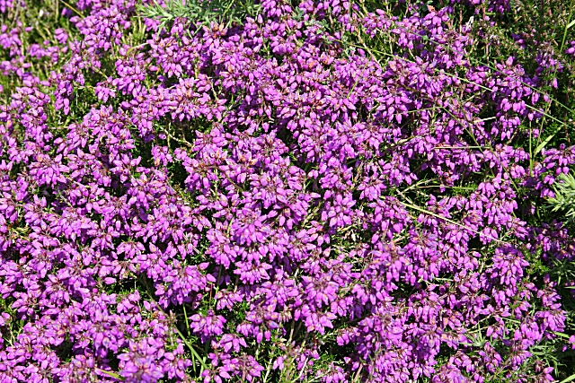 Bell Heather (Erica cinerea) - geograph.org.uk - 1380831