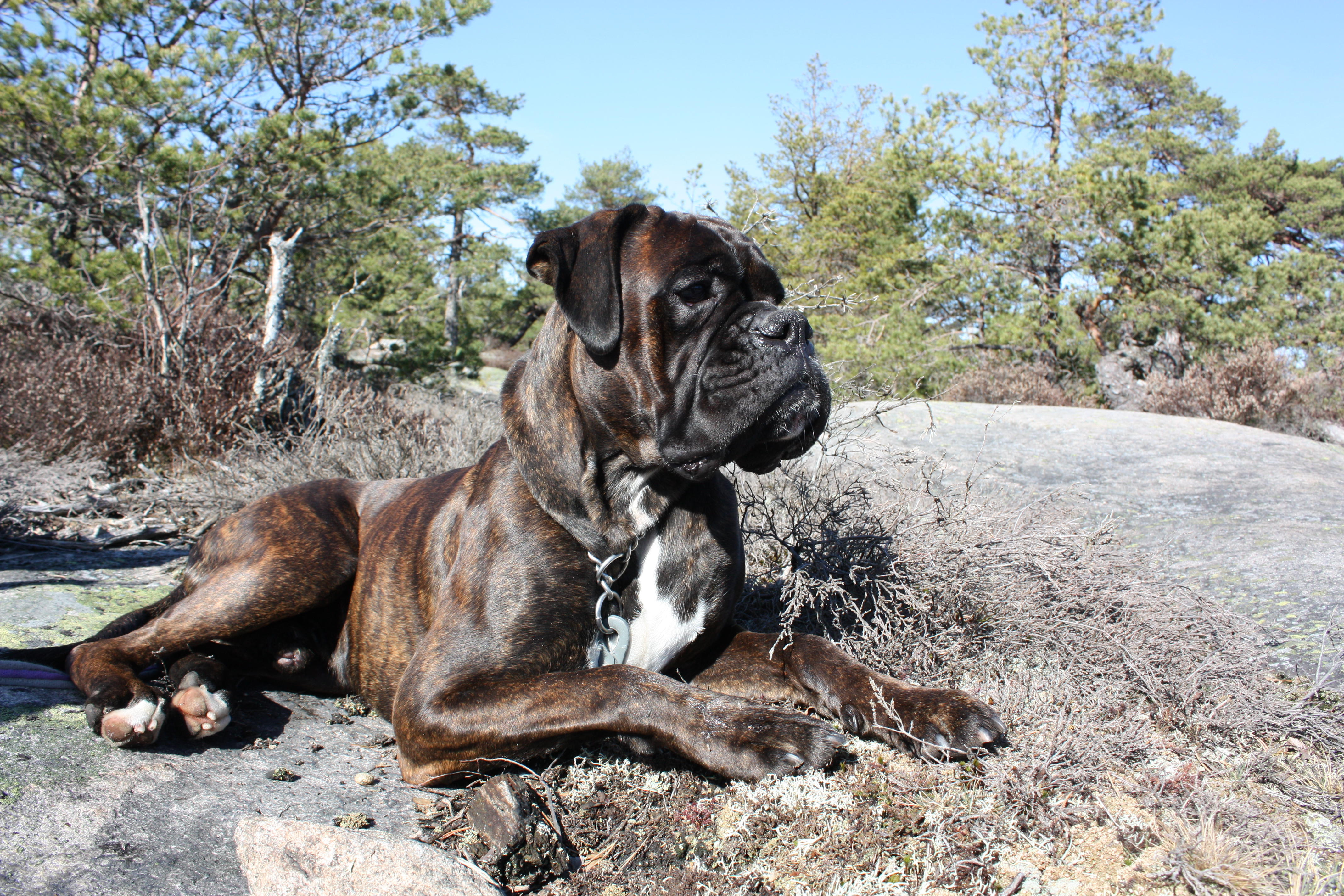 1000 images about boxers on pinterest pets puppys and for Brindle boxer